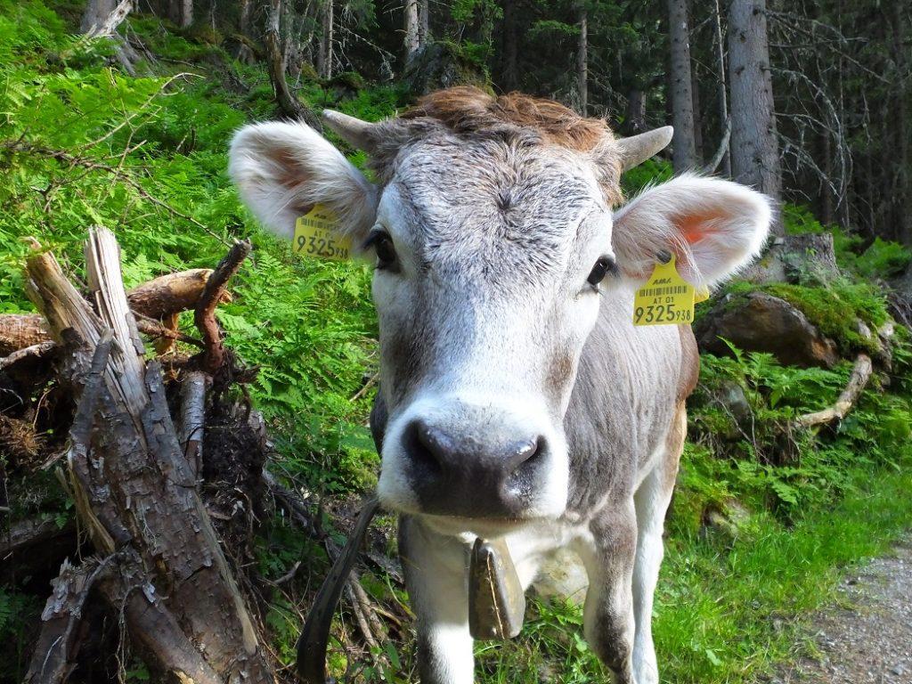 Очаровательные альпийские коровы.